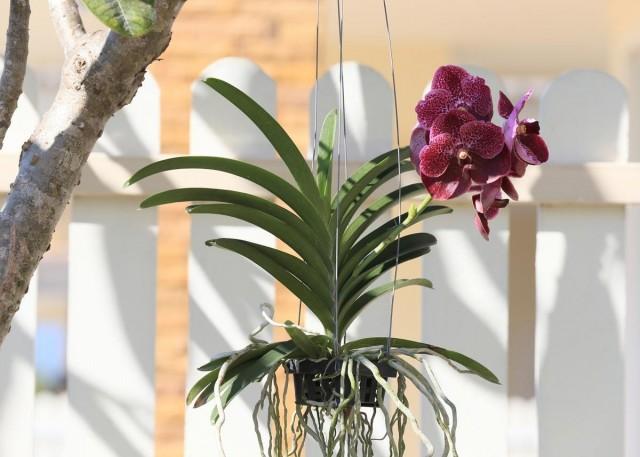 Уход за орхидеями, растущими без субстрата, намного сложнее, чем за растениями в горшках