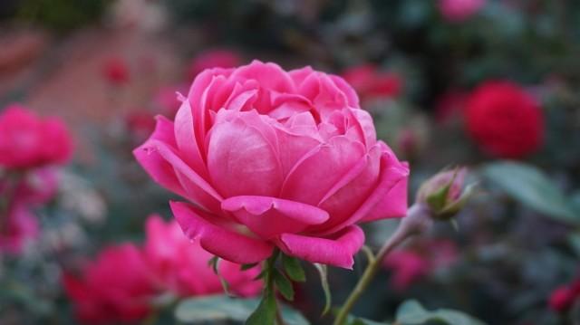 В сентябре клумбы с розами стоит перестать рыхлить, чтобы не провоцировать рост новых побегов
