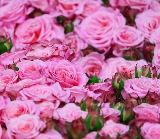 Готовим розы к осени