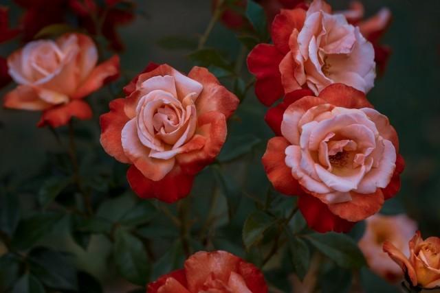 Уход за розами в южных регионах страны