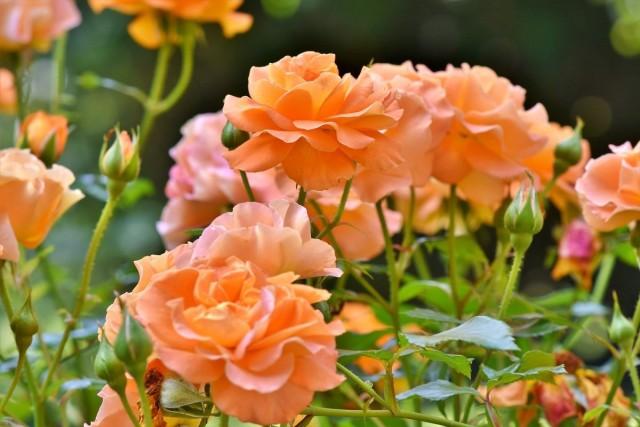 Уход за розами в средней полосе России