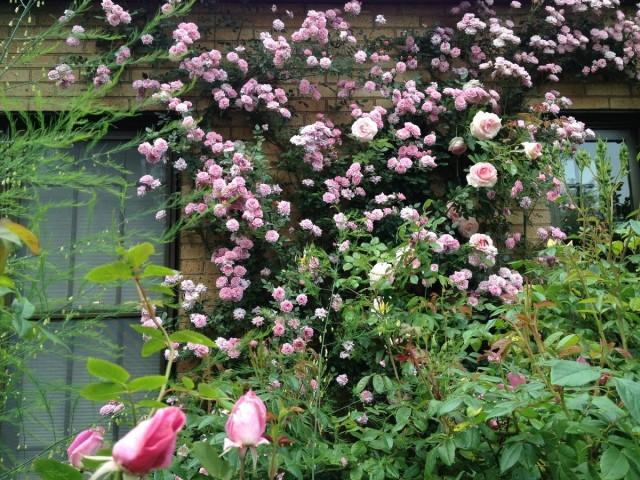 Плетистая роза клаймер на стене дома