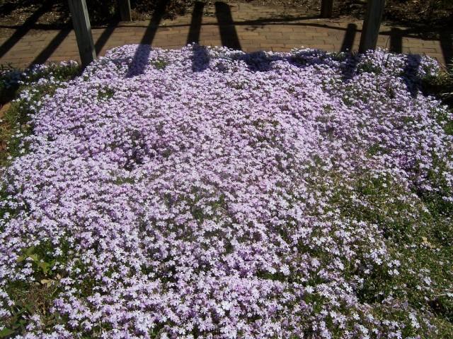 Полную красоту цветения рыхлодерновых флоксов наблюдать можно только при условии либо изначальной питательности почвы, либо качественных подкормок