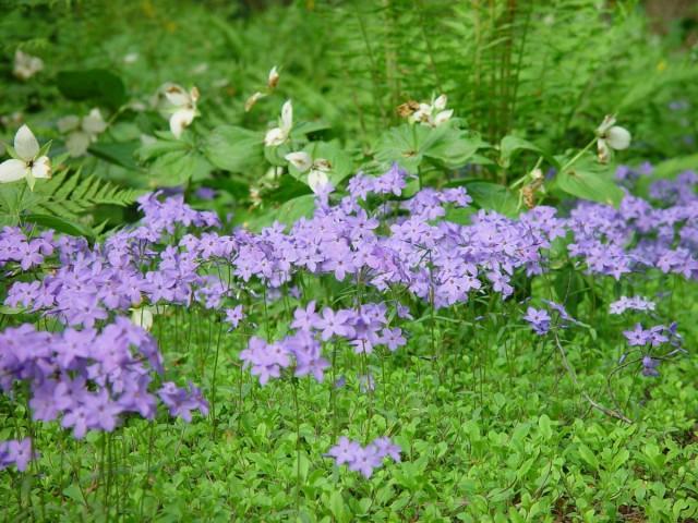 Рыхлодерновые флоксы размножаются толко вегетативно