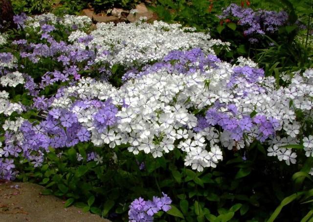 В дизайне сада рыхлодерновые флоксы могут использоваться для украшения переднего края цветников и миксбордеров, заполнения почвы