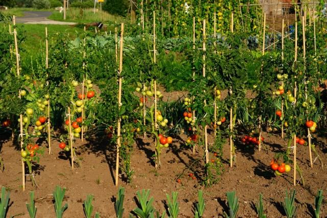 Высокие томаты необходимо избавлять от старых листьев