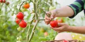 10 самых важных советов по выращиванию томатов