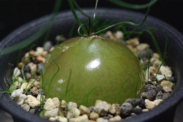 Для схизобазиса очень важно правильно «презентовать» луковицы: декоративные и броские, они являются украшением растения