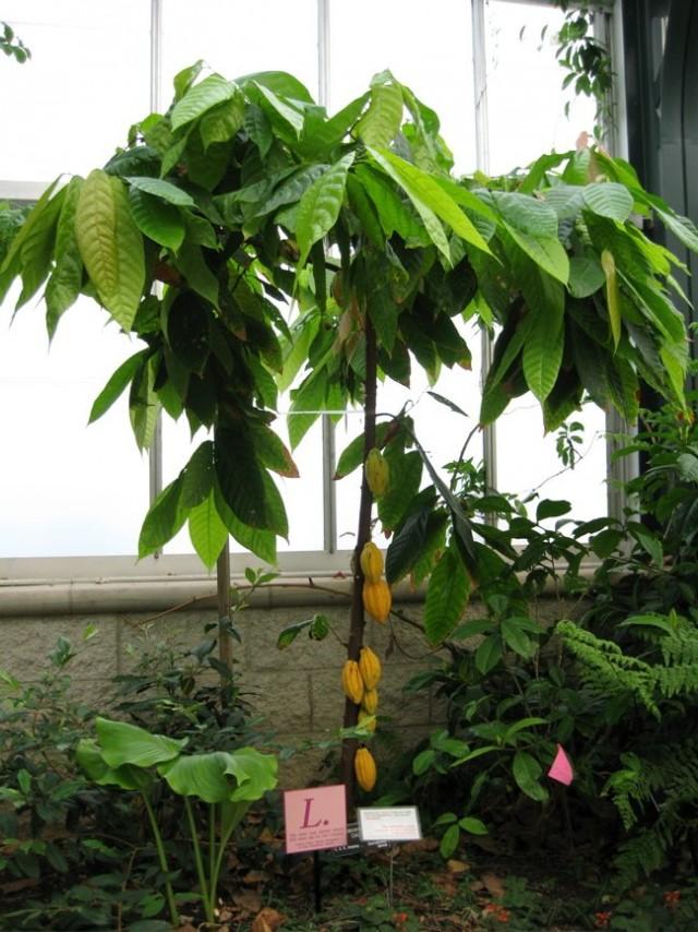 Какао-деревья - одни из самых сложных в выращивании и сохранении видов плодоносных растений
