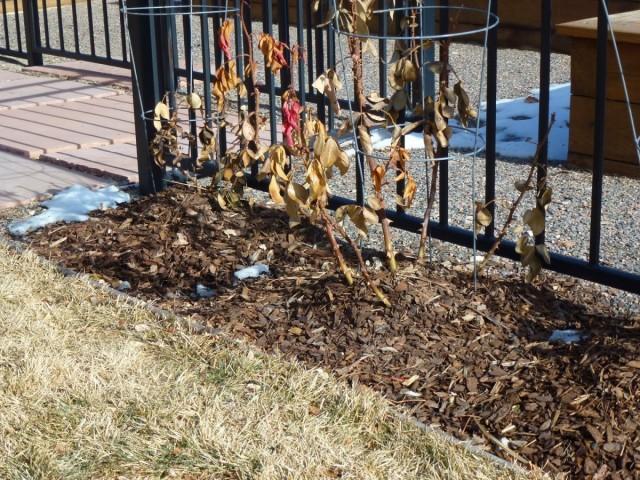 Мульчирование удобнее проводить на огородных и цветочных растениях недостаточно холодостойких, с поверхностной корневой системой