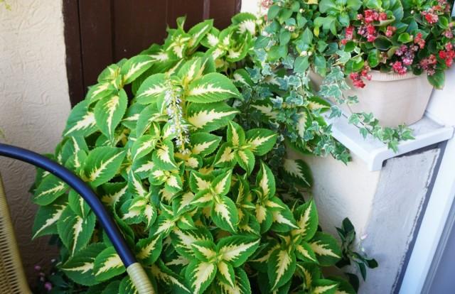 Особенно богатая палитра окраски листвы у знаменитого колеуса («крапивки»)