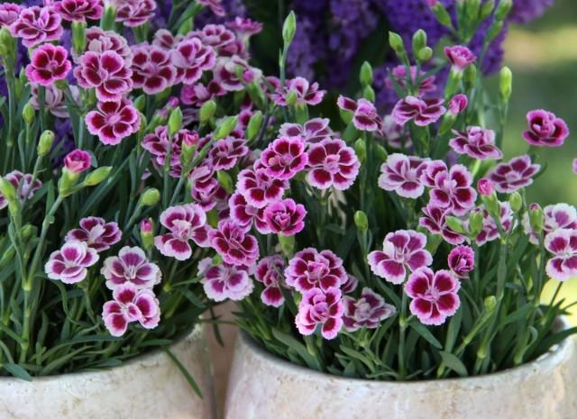 Гвоздика «Шабо» (Dianthus caryophyllus var. Chabaud)
