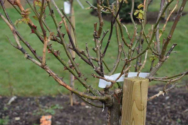 В последнюю очередь проводят обрезку кустарниковой розы, которая может цвести до конца октября