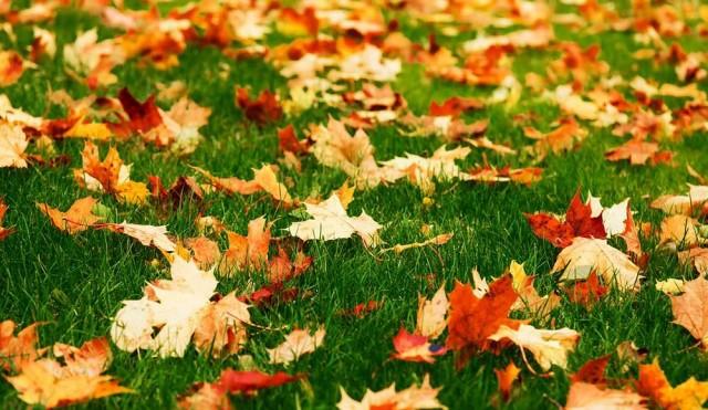 Если не собрать опавшие листья на газоне, то под слоем растительных остатков он в течение зимы будет выпревать