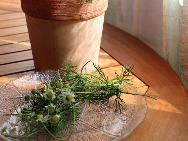 «Вечерний» чай из цветков ромашки, выпитый с медом и сливками, способствует крепкому и спокойному сну