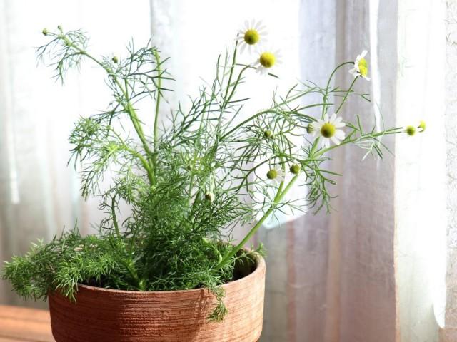 Ромашка аптечная (Chamomilla recutita L., Matricaria recutita L.)