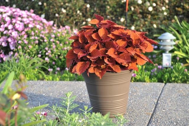 Колеус Блюме (Plectranthus scutellarioides)