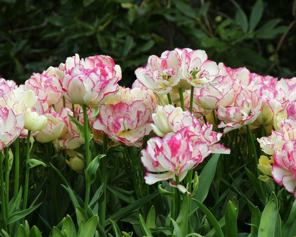 Tulip-Belicia