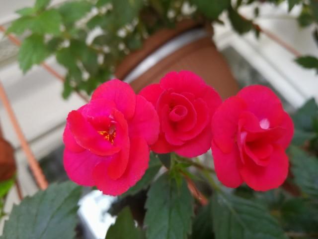 Размещать это растение лучше на подоконниках, искусственная досветка не компенсирует нехватку естественного освещения