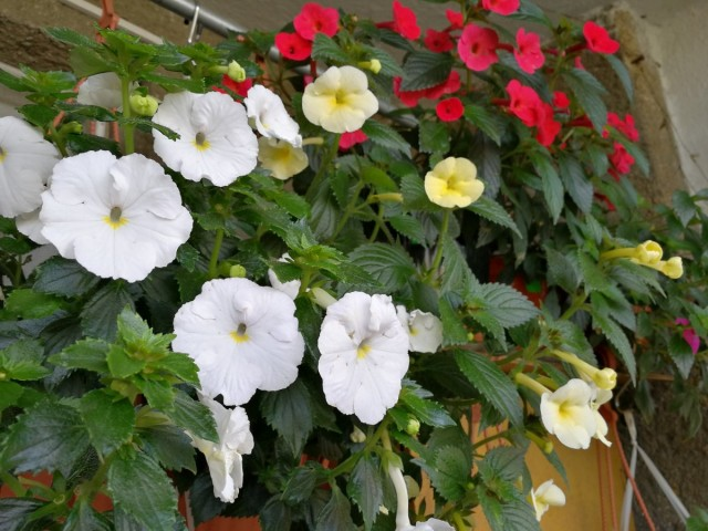 Ахименес обильно цветёт с июля и до сентября, хотя многие гибриды способны цвести на протяжении более трех месяцев