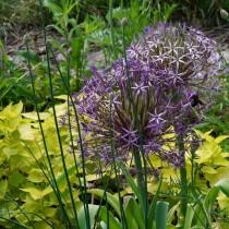 Лук Христофа (Allium cristophii)