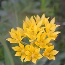Лук Моли (Allium moly)