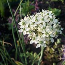 Лук декоративный Черный (Allium nigrum)