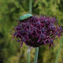 Лук тёмно-пурпурный (Allium atropurpureum)
