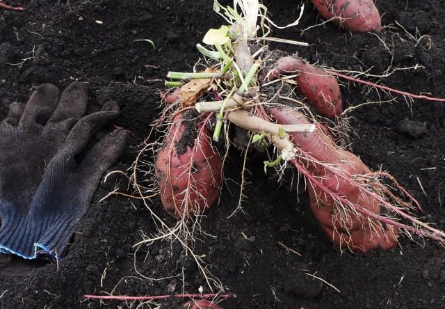 Молодые корнеклубни «сладкого картофеля» достаточно ломкие и их тяжело извлекать из сырого тяжелого грунта