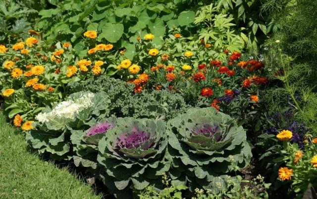 Декоративную капусту нельзя отнести к растениям, которые можно «посадить и забыть»
