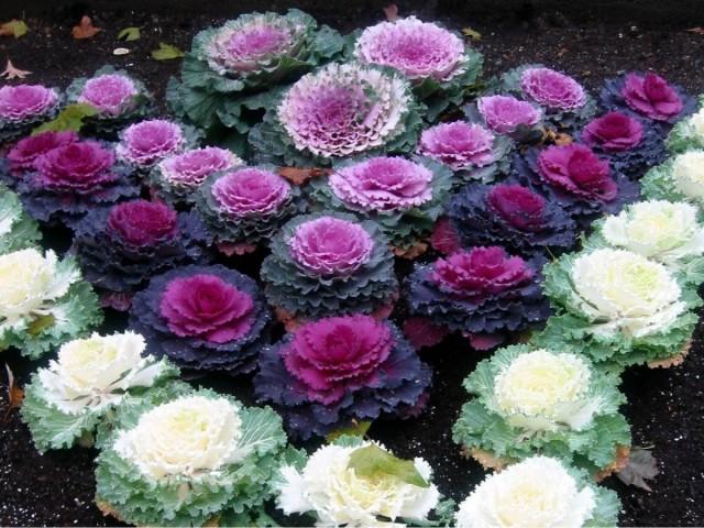 Декоративная капуста добавит ярких красок в увядающий осенний сад