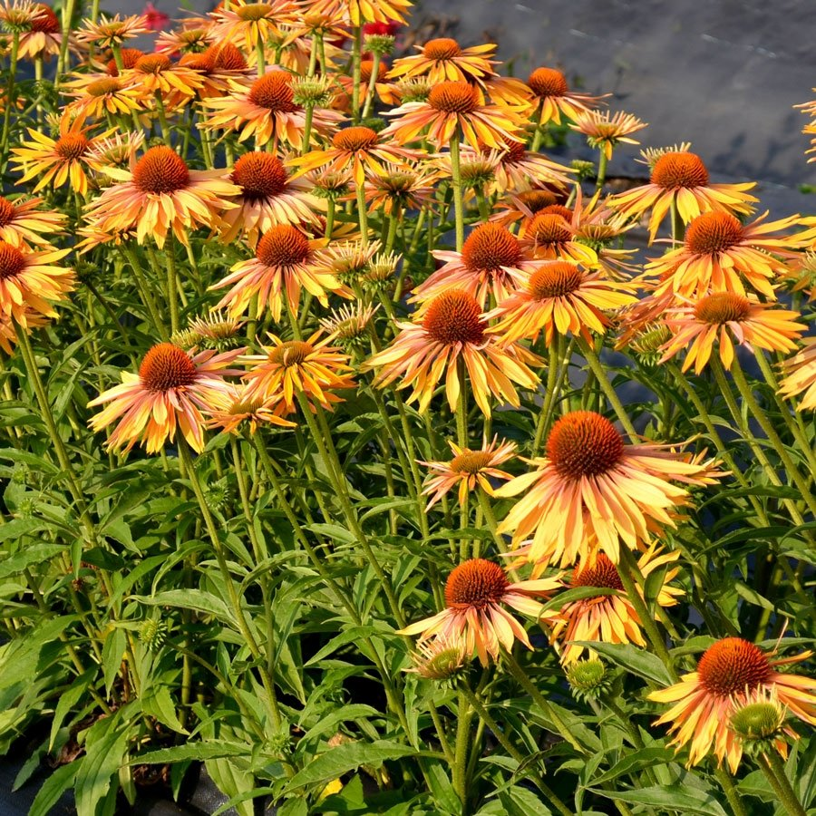 echinacea-purpurea-big-kahuna-2
