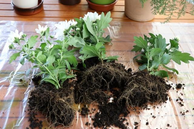 Когда хризантема вынута из купленного горшочка, иногда обнаруживается, что это не одно растение, а три или четыре