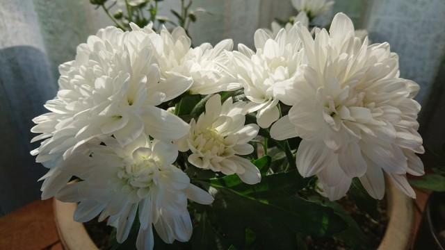Хризантемы в саду редко поражаются болезнями и вредителями, но комнатные - очень часто, к сожалению