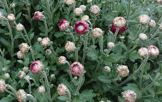Чем меньше раскрывшихся цветков на хризантеме, которая отправляется жить в комнатные условия, тем лучше
