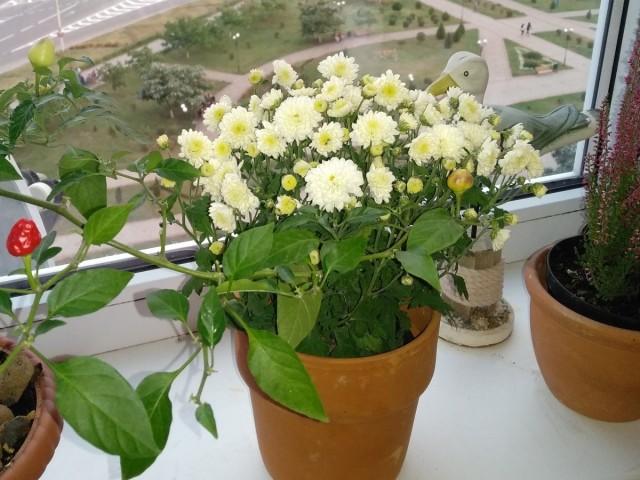 Для комнатной хризантемы нужно выбрать самый солнечный подоконник в доме