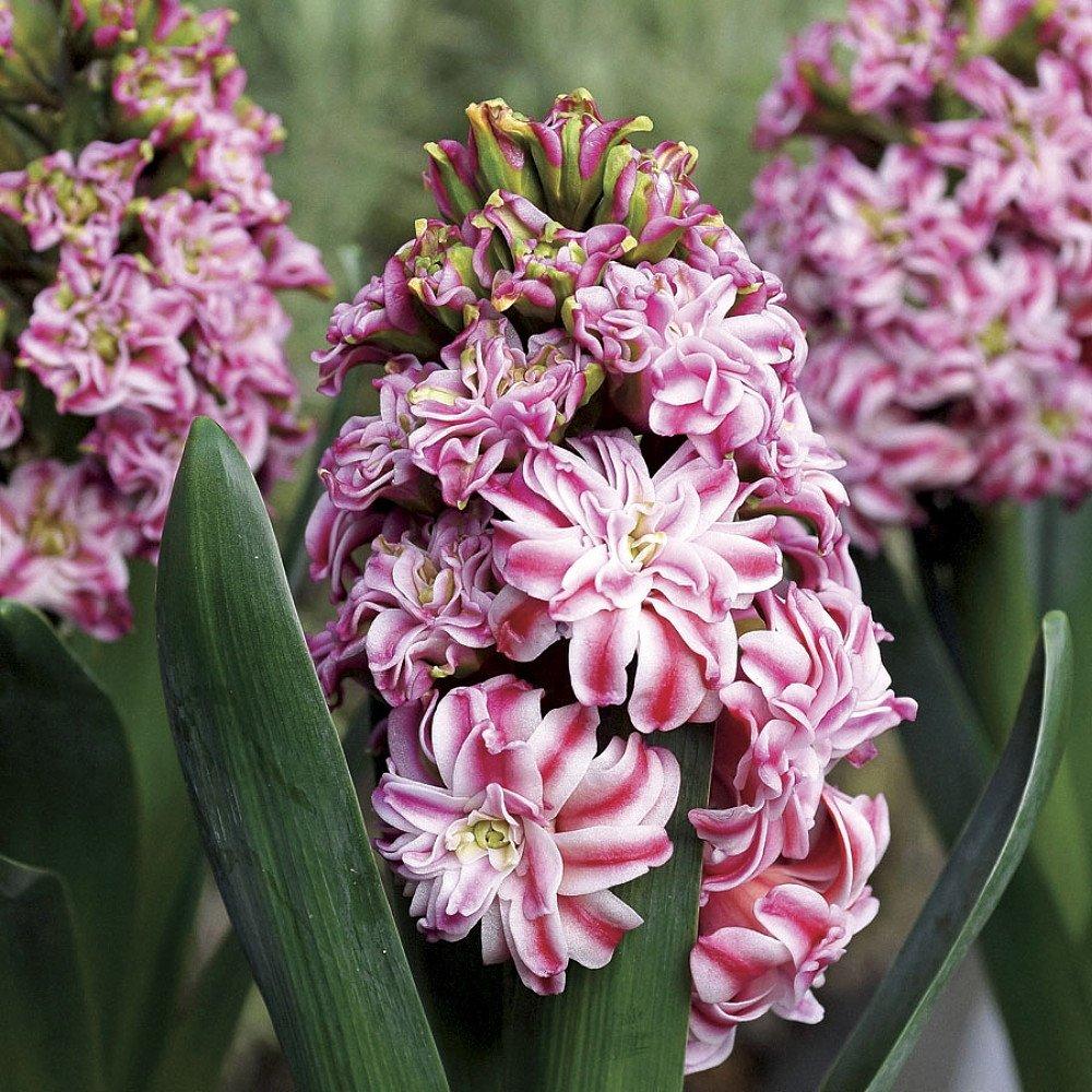 hyacinthus-double-eros