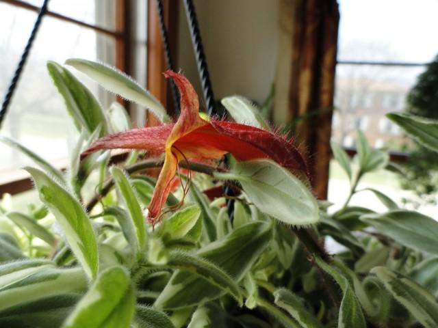 При любом переливе или намокании зелени растение поражается серыми гнилями