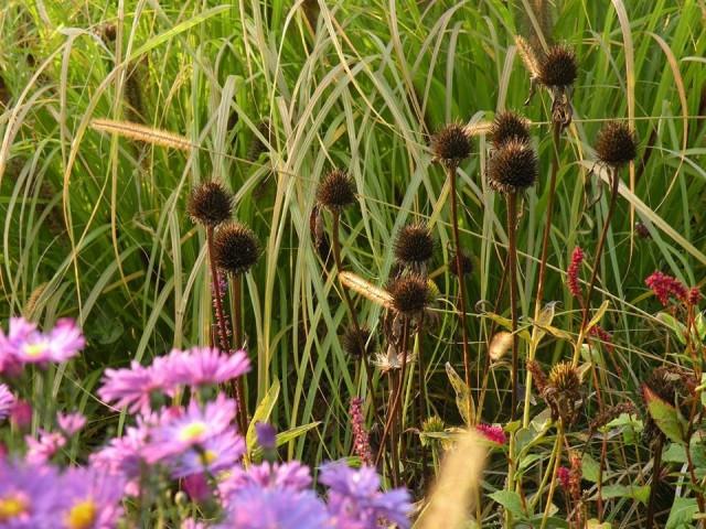 Семенные головки некоторых цветов лучше обрезать, если они агрессивно размножаются