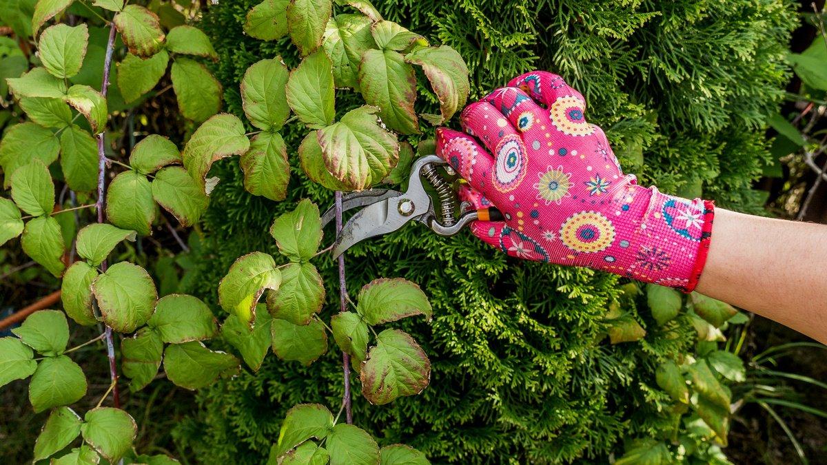 Обрезка ремонтантной малины и ее варианты — осенью или весной