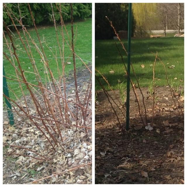 Прореживающая обрезка малины до и после