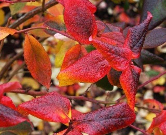Осенний уход за голубикой состоит из продолжения поливов, растение не любит пересыхания почвы