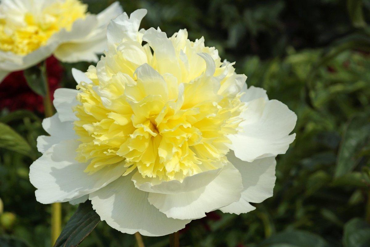 paeonia-lactiflora-honey-gold-1
