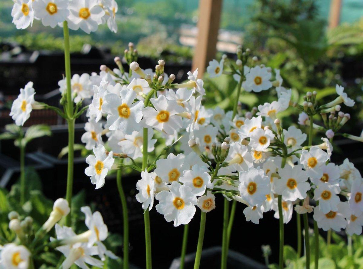 primula-japonica-alba-1