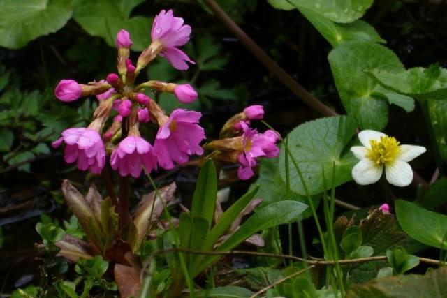 Примулу розовою лучше высаживать в притененном месте, где почва никогда не перегревается