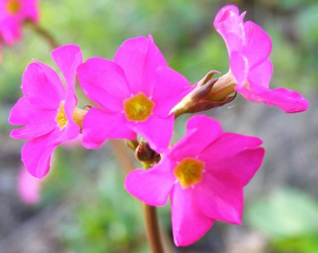 Примула розовая, декоративная форма грандифлора (var. grandiflora)
