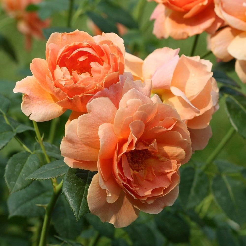rose-at-last-1