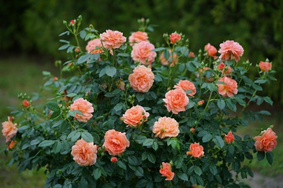 rose-at-last-2