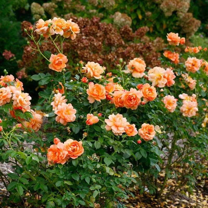 rose-at-last-3