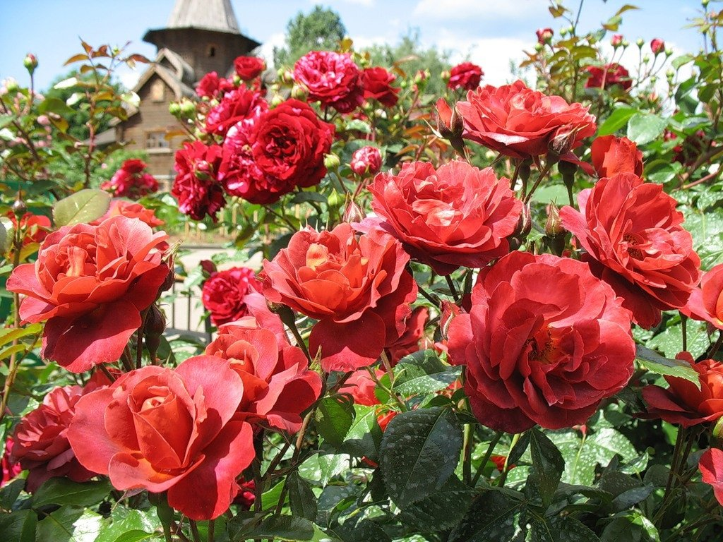 rose-hot-cocoa-2